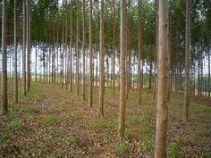 Blog do Osias Lima: Setor florestal brasileiro cresce produtividade em...