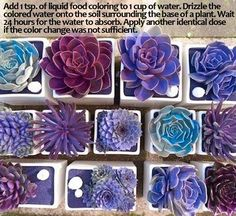画像加工じゃなく染料を溶いた水やりで実際に着色したそうな → Changer la couleur des succulentes :en additionnant à l'eau d'arrosage, une cuillère à café de colorant alimentaire. Recommencer à chaque fois que les couleurs partent. Purple Succulents, Planting Succulents, Planting Flowers, Succulent Seeds, Succulent Plants, Purple Plants, Succulents Diy, Purple Garden, Bonsai Plants