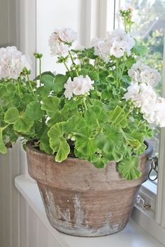 soft whitish pink geraniums in cool terracotta pot.