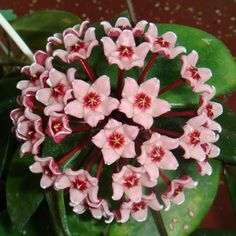 Hoya 'Sherry' Cutting [IML 1637] - $16.00 : Buy Hoya Plants Online in Many Species from SRQ Hoyas Today!