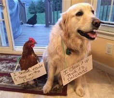 youve heard of dog shamming well chickens want in 20 Youve heard of dog shaming, well chickens want in Photos) Funny Animal Memes, Dog Memes, Funny Animal Pictures, Cute Funny Animals, Funny Dogs, Cute Dogs, Dog Funnies, Cat Shaming, Backyard Poultry