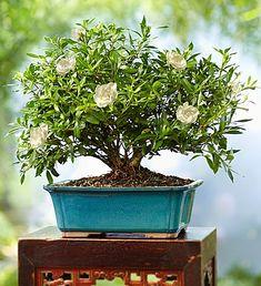 Gardenia Bonsai 8-Year Specimen from 1-800-FLOWERS.COM
