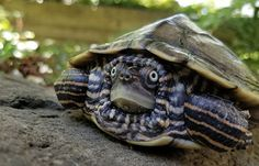 False Map Turtle | Reptiles Alive Explore the great outdoors to learn everything about reptiles! Ra Diet, Map Turtle, Pet Supermarket, Turtle Reptile, Aquatic Insects, Habitat Destruction, Earthworms, Baby Turtles, Reptiles And Amphibians