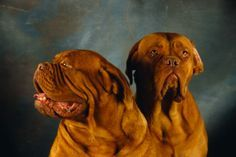 don't know whose dogues these are but gorgeous photo!