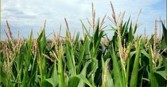USDA's Greenlighting of 'Agent Orange' Crops Sparks Condemnation | Common Dreams | Breaking News & Views for the Progressive Community