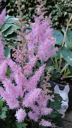 Garden Astilbe 'Ice Cream'