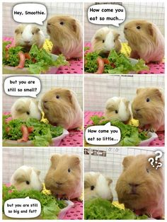 Two Adorable Guinea Pigs Chatting About Their Daily Lives - World's largest collection of cat memes and other animals Baby Guinea Pigs, Guinea Pig Toys, Guinea Pig Care, Cute Funny Animals, Funny Animal Pictures, Guinie Pig, Guinea Pig Quotes, Pig Pics, Cute Piggies