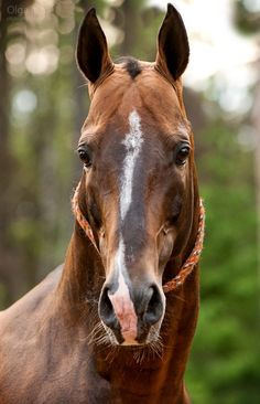 Akhal-teke face - Maslakhat Olga Itina Equestrian Photography