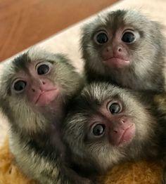 Capuchins Monkey Animals For Sale Pet Monkey For Sale, Marmoset Monkey For Sale, Baby Monkey Pet, Pets For Sale, Cute Monkey, Real Monkeys For Sale, Super Cute Animals, Cute Funny Animals, Cute Baby Animals