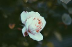 The sweetest flower that blows, I give you as we part. For you it is a rose, for me it is my heart. • Frederick Peterson