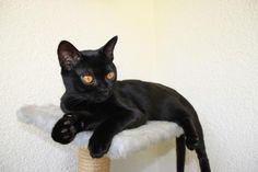 El gato Bombay