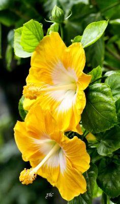 楊宜昌 - Google+ Hibiscus China Rose Up and down the stack flower version!