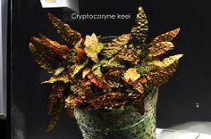 Cryptocoryne keei鳳梨椒草