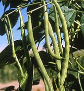 Top 10 Tips For Growing Bush Beans