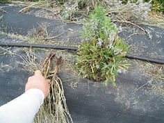 Pruning out winter damage is important to jump starting your lavender, this plant was pruned late May for examples.