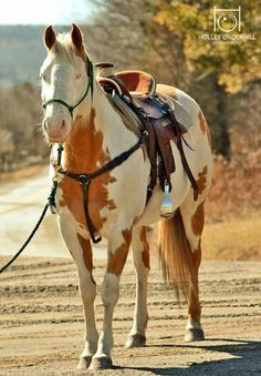 either a sorrel or palomino paint horse with a bald face...all ready to trail ride!