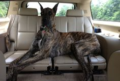 Great Dane s~ a TRUE back-seat driver...