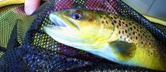 Upper Owens River Brown Trout