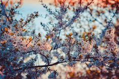 Close-up Photography of Cherry Blossom  Free Stock Photo