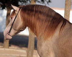 pearl dilute horse - Sök på Google