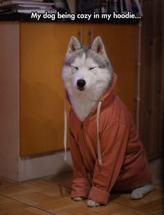 Funny pictures about I Thought Only Girls Looked Cute In Hoodies. Oh, and cool pics about I Thought Only Girls Looked Cute In Hoodies. Also, I Thought Only Girls Looked Cute In Hoodies photos. Cute Funny Animals, Funny Animal Pictures, Funny Cute, Funny Dogs, Funny Husky, Husky Dog, Random Pictures, Animal Pics, Hilarious
