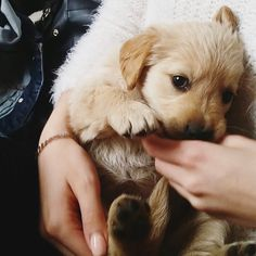 Adorable Little Baby Golden Retriever Puppy - I want to Cuddle! #GoldenRetriever