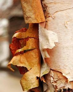 Items similar to Birch Bark Photo-Art Gift-Fine Art Wall Decor-Landscape Wall Art-Nature Photography-Tree Photography-Birch Tree Art-Landscape Art-Tree Art on Etsy Birch Tree Art, Birch Bark, Tree Photography, Landscape Photography, Simple Tree, Tree Artwork, Watercolor Trees, Landscape Walls, Wall Art Decor