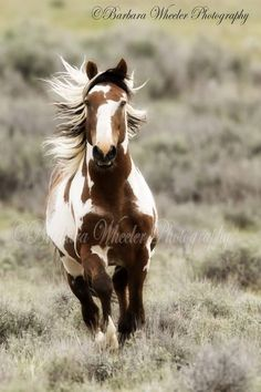 Wild Horses Picasso! From our recent trip to Sand Wash Basin. It was quite exciting when Picasso decided to run straight for us. Even a bit hair raising before he decided I wasn't a mare and veered off in the other direction. What a handsome dude he is!