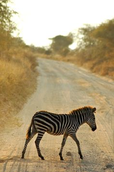 Tanzania Oh, you know... just a zebra crossing the street! <3