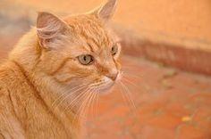 Kissa, Oranssi, Pet