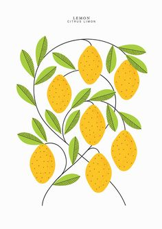 An A3 (16.5 x 11.7) sized print featuring Lemons from my Citrus range.    Professionally printed on 300gsm uncoated white stock. Edition of 50,