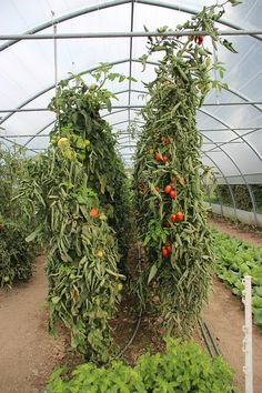 High Yield Tomato Plants: 50-80 lbs per Plant - Home and Gardening Ideas
