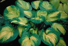 Hosta 'Brother Stefan' has leaves that are puckered and heavily textured. They are gold in the center, bleeding out to a chartreuse and then...
