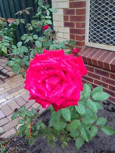 One of the shrubs at the house - a rose