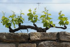 Though most of the vines are head-trained in Clos de Tart, there are a few examples of cordon-trained vines too. The vineyard benefits from a homogenous east-south-east exposure.