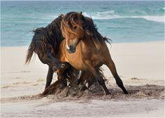 Tempest horses on beach Sable Island by Deb Garside