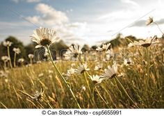 Stock Photo - Beautiful marguerites in Summer time - stock image, images, royalty free photo, stock photos, stock photograph, stock photographs, picture, pictures, graphic, graphics