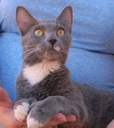 Demi likes to use her extra toes to hold you close.  She is a thoughtful, petite girl and she is ready for adoption at Nevada SPCA (www.nevadaspca.org).  Demi is a blue-grey tuxedo shorthair, 4 years of age and spayed, and good with other cats.  Demi was surrendered by her previous owner due to a roommate's allergy to her.