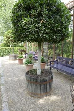 Standard Bay Tree in a wine barrels - Modern