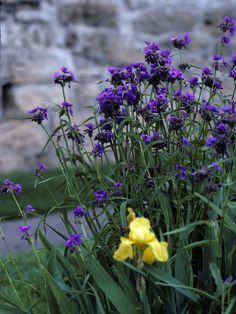 Western Spiderwort drought tolerant perennials