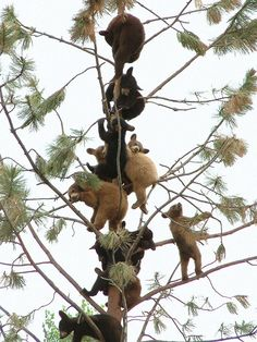 Why are all those baby bears on the same tree?? So cute