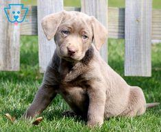 Pearly   Labrador Retriever - Silver Puppy For Sale   Keystone Puppies