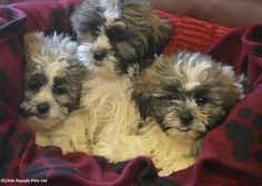 Zuchon/Shichon Boys and Girls - Designer and Cross Breed Puppies For Sale