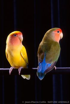 Lovebirds are small parrots from southern and south-eastern Africa. The two love birds in the photo are the Peach-faced Lovebird Birds.