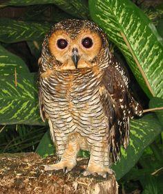 Spotted Wood Owl (Strix seloputo). Photo by Karen Mills.