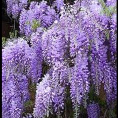 Wisteria - bouquet 1