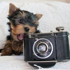 Yorkshire Terrier #yorkshire #terrier #puppy #puppies #cute #dog #dogs #nature #animal #animals #photo #photography #fliiby #images #yyazilim #people #nature