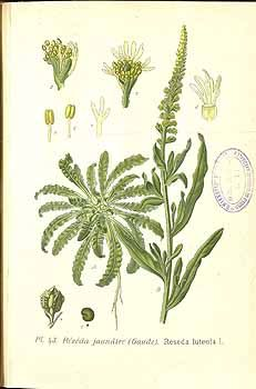 Weld or Dyer's Rocket (Reseda luteola)  is a plant native to the Mediterranean.  Yellow dye was obtained from the roots by the first millennium BC, and perhaps earlier than either woad or madder.  I'm trying to find some here on Milos but no luck so far!