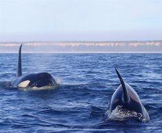 'Baleias-assassinas' avistadas ao largo da Costa da Caparica [Vídeo]