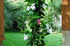 Argentínából származó dísznövény, amely az amerikai háztartásokban igen elterjedt. Dél-Amerikában mexikói szerelemindának is nevezik, és a melegebb éghajlaton kerti virágként...